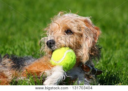 A wire haired terrier dog with tennis ball in it's mouth