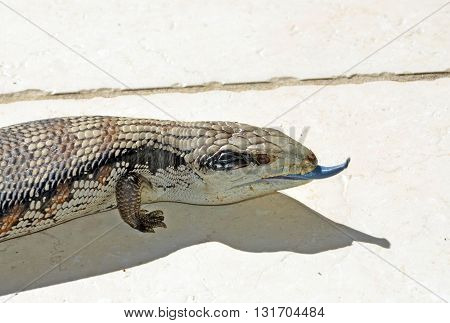 Australian Blue Tongue Lizard poking its tongue out
