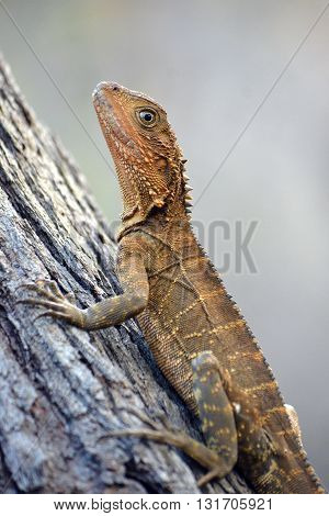 Australian Eastern Water Dragon climbing a tree