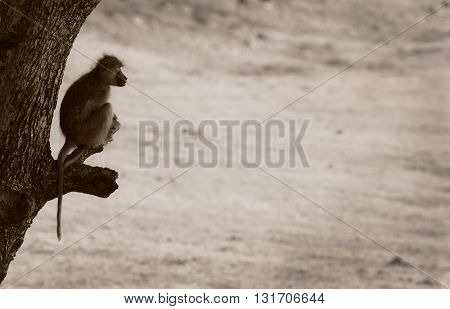 Yellow Baboon perched on a branch in South Luangwa national park