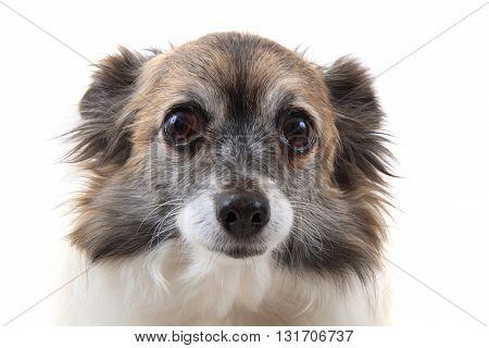 Head Of Sweet Chihuahua