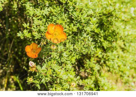 Potentilla Fruticosa L.