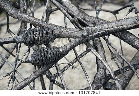 Burnt Australian Banksia tree branches after a bushfire