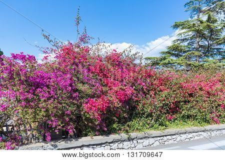 Colorful red and purple bougainvillea flowers at Taormina at the Island Sicily Italy