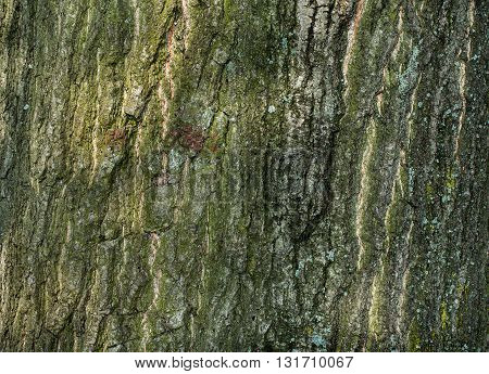rough tree bark for background or texture