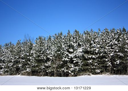 Snow-capped Pine Trees