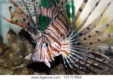 Lionfish (pterois Miles)