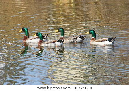 Four Mallards On The Water
