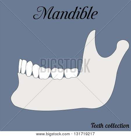 mandible - bite closure of teeth - incisor canine premolar molar upper and lower jaw. Vector illustration for print or design of the dental clinic