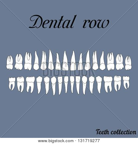 dental row teeth - incisor canine premolar molar upper and lower jaw. Vector illustration for print or design of the dental clinic