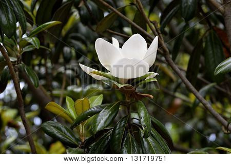 Magnolia tree flower blooming at a botanical garden,