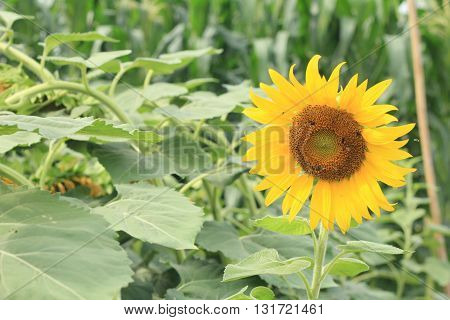 Sunflower and working bee nature background in the morning