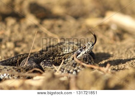 angry meadow viper in natural habitat ( Vipera ursinii rakosiensis )
