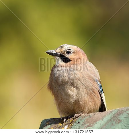 beautiful eurasian jay over green out of focus background ( Garrulus glandarius )