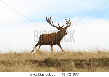 big red deer stag in the run ( Cervus elaphus )