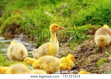 colorful flock of goslings playing at the pond