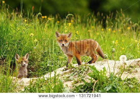 cute fox cub near the den ( Vulpes vulpes )