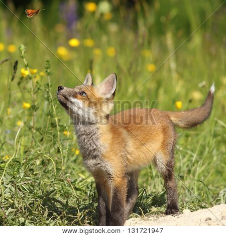 cute fox puppy looking after butterfly ( Vulpes vulpes wild animal )