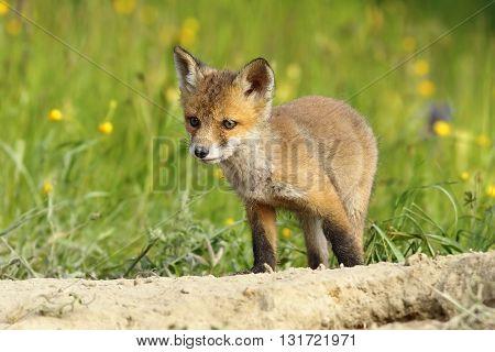 cute little fox cub near the burrow ( Vulpes vulpes )