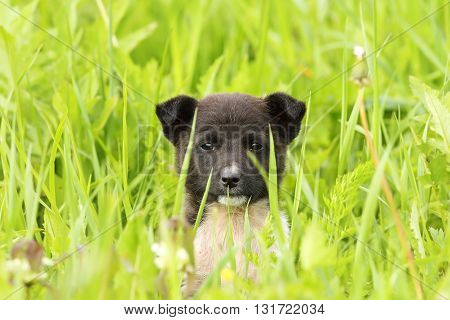 face of a black doggy hiding in big grass
