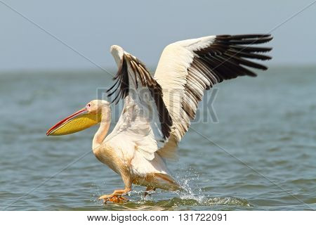 Pelecanus onocrotalus-great pelican taking flight form water surface Danube Delta Meleaua Romania