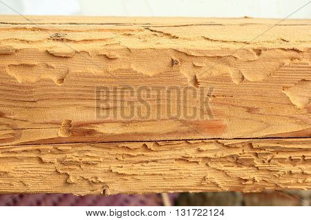house longhorn beetle or old house borer attack on spruce wood ( Hylotrupes bajulus )