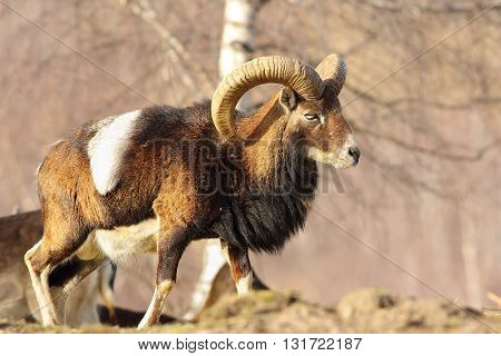 mouflon ram walking in a clearing ( Ovis orientalis )