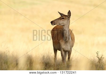 red deer doe standing in a glade ( Cervus elaphus )