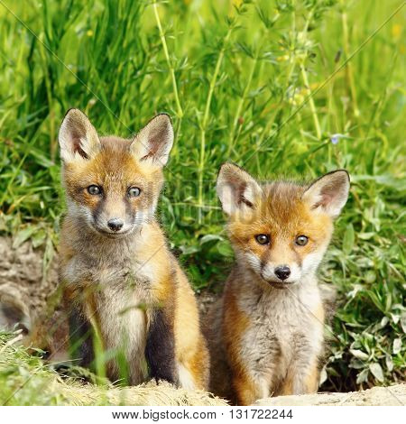 cute red fox brothers standing at the entrance of the den ( Vulpes vulpes ) european wildlife