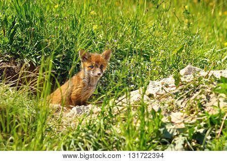 young red fox standing at the entrance of the burrow ( Vulpes vulpes )