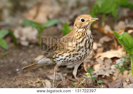 young song thrush ( Turdus philomelos ) on ground