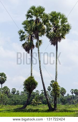 Sugar palm tree and green rice field
