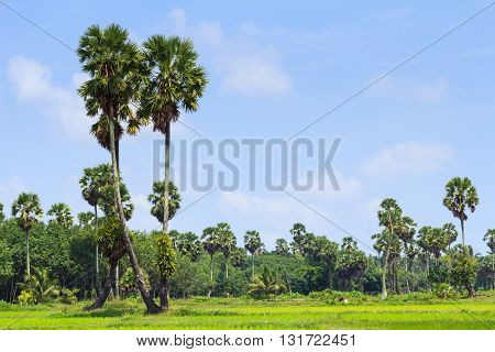 Sugar palm tree and rice field ,green