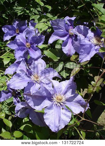 Clematis 'Kamila' purple buds and  flowers .