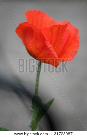 Single Orange Oriental Poppy