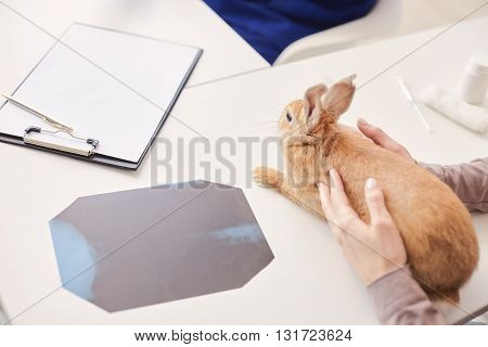 Close up of female hands holding a rabbit on the table in veterinary clinic
