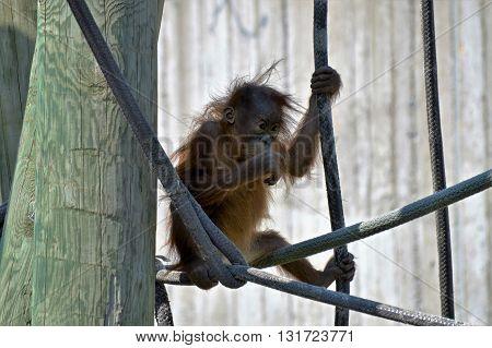 Baby orangutan learning to climb on the ropes