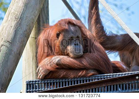 An orangutan watching from a platform outside