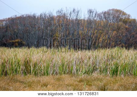 wild grass in wetlands and parks of New Zealand