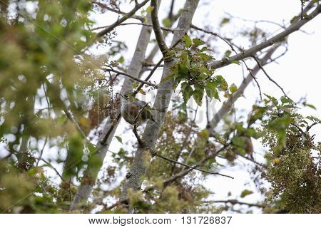 new Zealand silver-eye bird in natural habitat amongst fruit trees