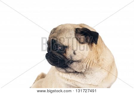 Pug sandy color portrait isolated on white background