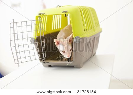 Pretty cat sphinx is standing inside a carrier box on table