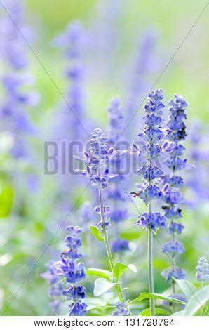 Blue Salvia flower in the garden in soft focus