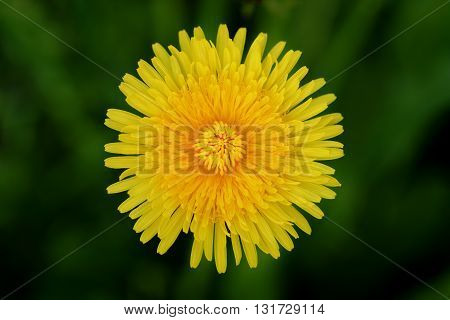 top view of bright yellow dandelion, closeup shallow focus photo
