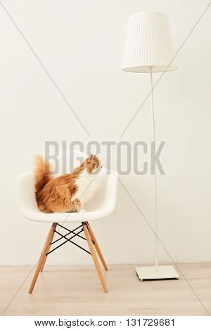 Cute red cat is sitting on chair and looking at floor lamp with curiosity