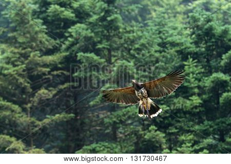 attractive  Golden Eagle in flight hunting training