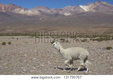 Lone white alpaca (Lama pacos) in the wide open landscape of Lauca National Park, northern Chile.