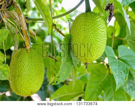 Green Gac fruit Spring Bitter Cucumber or Momordica Cochinchinensis Spreng on the tree in Thailand