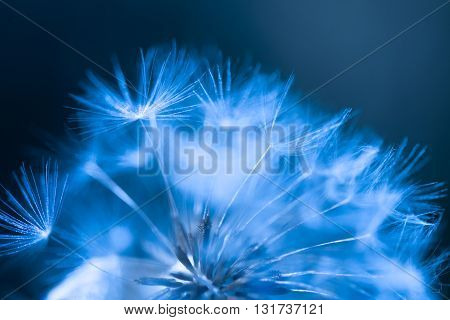Dandelion abstract background, macro shot with shallow depth of field