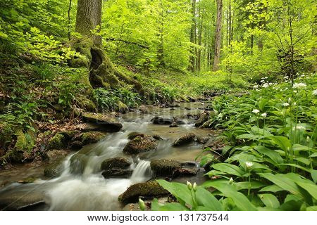 Fresh spring deciduous forest. end of May, Poland.